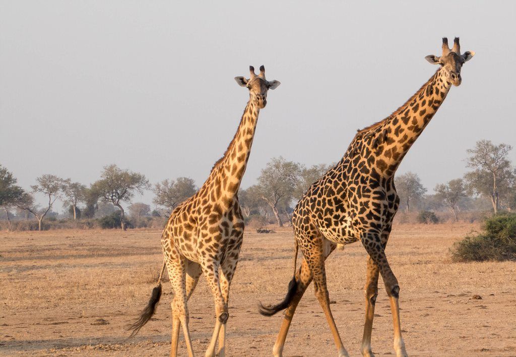giraffe 15 Reasons Why Zambia Is A Perfect African Vacation Spot