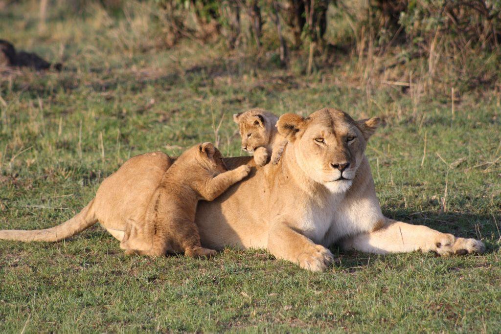 lion 3006875 1920 1024x683 1 Top Safaris You Have To Tour