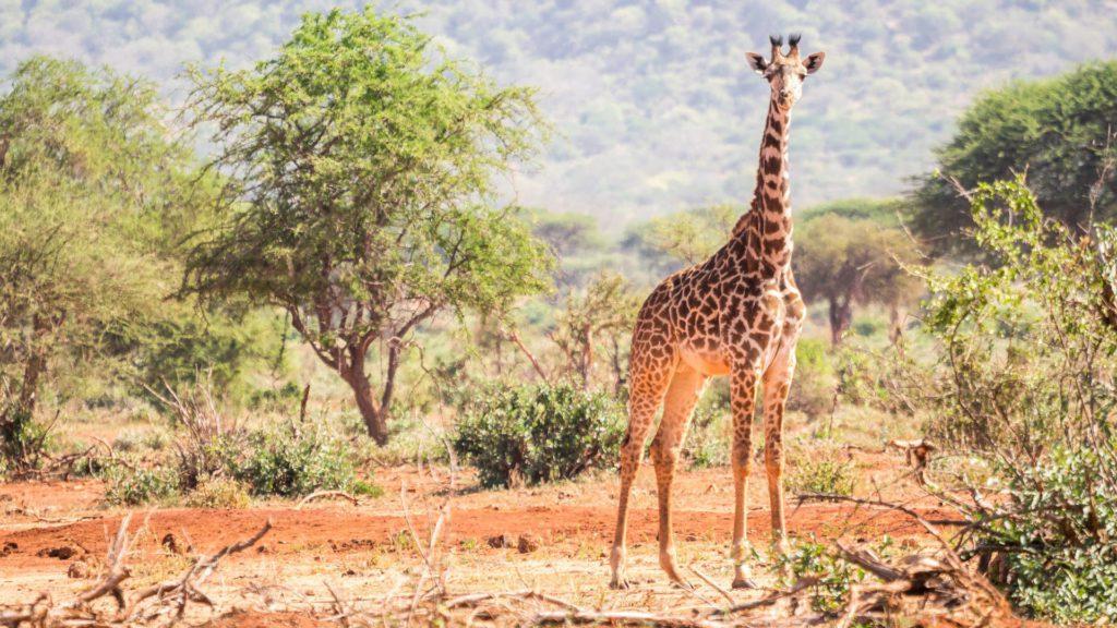 giraffe wildlife ngorongoro crater tanzania safari Top Safari Game Reserves in Africa – 2021 Rankings